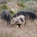 Sardische Sauereien