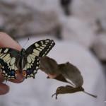 Erschöpfter Schmetterling