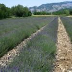 Endlich Lavendel!