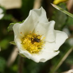 Beschäftigte Ameise