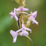 Angehender Schmetterling