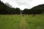 Es ist voller Kühe