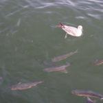Möwe und Fische
