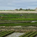 Fleißige Austernzüchter