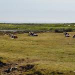 Kühe in den Salzwiesen