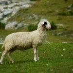 Schaf trägt bauchfrei