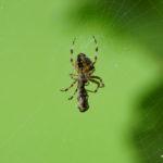 Beschäftigte Spinne
