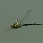 Libelle am Großen Moos