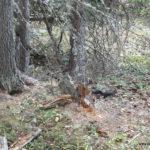 Schnelles schwarzes Hörnchen